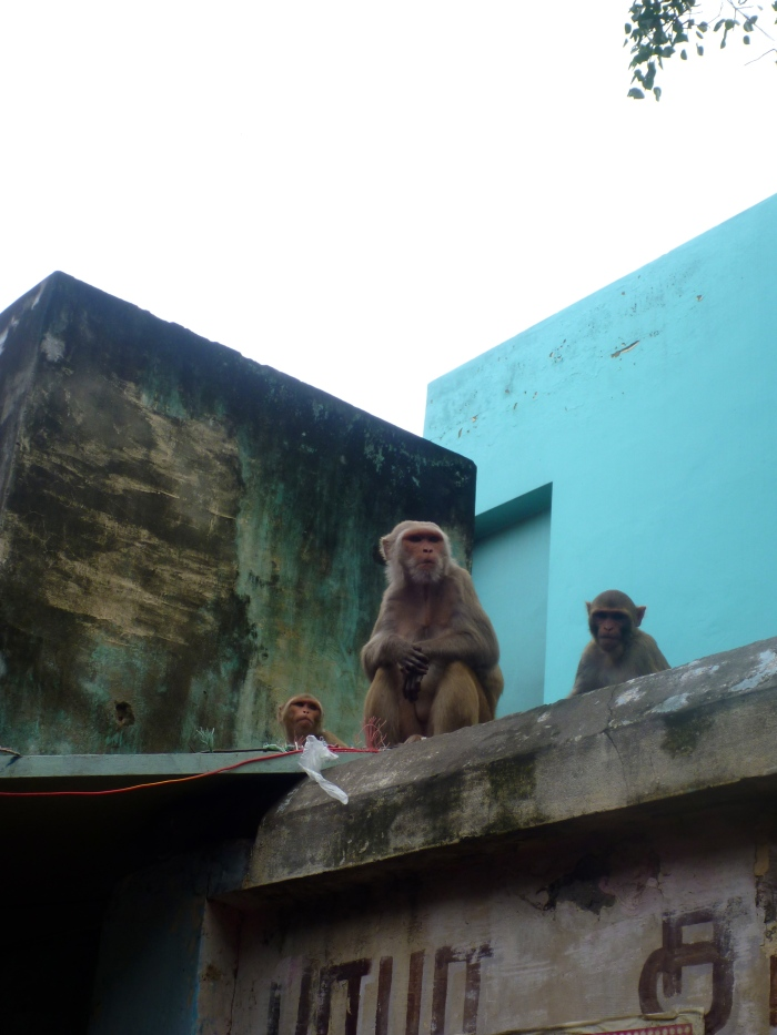 On the tops of the buildings, packs of monkeys scurry across looking for scraps of food, perhaps a ball to play with, settling on a window sill to clean each other and rest.