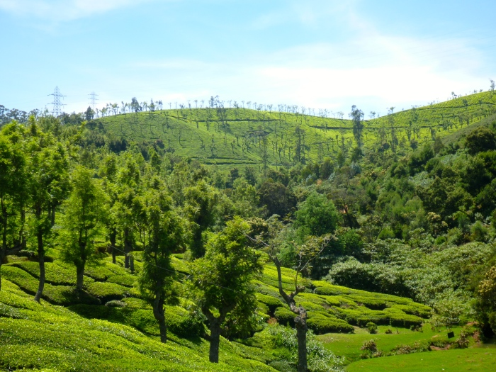 A tea plantation we passed through on our hike